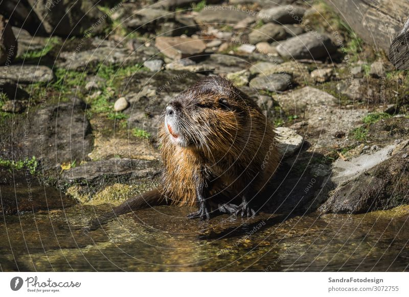 A beaver by the water Natur Tier Flussufer Wildtier 1 Freude Glück Fröhlichkeit mammal pond green wildlife brown animal swimming rodent face outside close