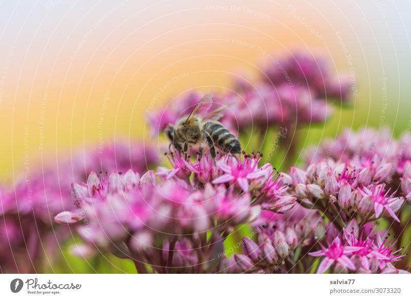 Sedum-Blütensternchen Umwelt Natur Sommer Pflanze Blume Fetthenne Sukkulenten Garten Tier Nutztier Biene Honigbiene Insekt 1 Blühend Duft