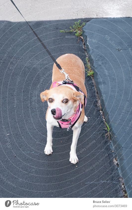 Mit dem Hund spazieren gehen Sommer Feste & Feiern Arbeitsplatz Büro Tier Florida USA Nordamerika Fell Haustier 1 anleinen Beton laufen Freundlichkeit schön
