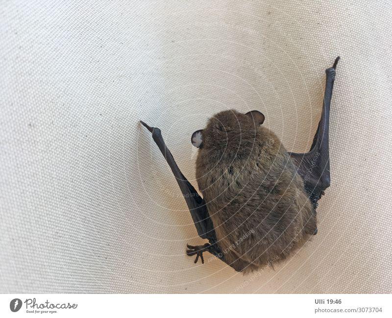 Frierendes Fledermäuschen... Sommer schön Tier Einsamkeit Gesundheit klein Garten braun Wildtier ästhetisch authentisch Geschwindigkeit niedlich schlafen Schutz