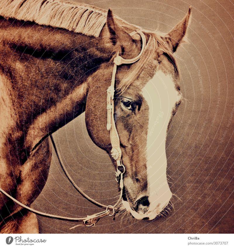 Westernpferd bei der Arbeit Lifestyle Freude Glück Freizeit & Hobby Reiten Sport Reitsport Tier Haustier Pferd Tiergesicht 1 genießen ästhetisch sportlich