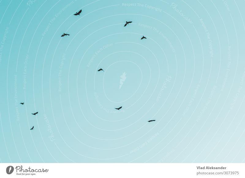 Freiheit Umwelt Natur Landschaft Erde Luft Himmel nur Himmel Wolkenloser Himmel Sommer Wildtier Vogel fliegen ästhetisch Ferne türkis Farbfoto Außenaufnahme