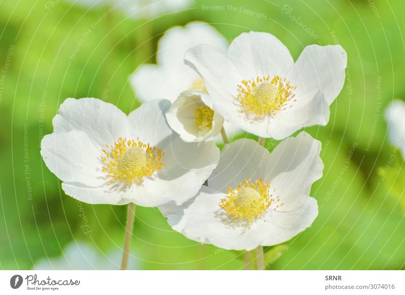 weiße Blumen Umwelt Natur Pflanze Blüte Blühend Überstrahlung Ökosystem geblümt Blütezeit gedeihen Blütenstand offene Blume Blütenblatt Farbfoto Menschenleer