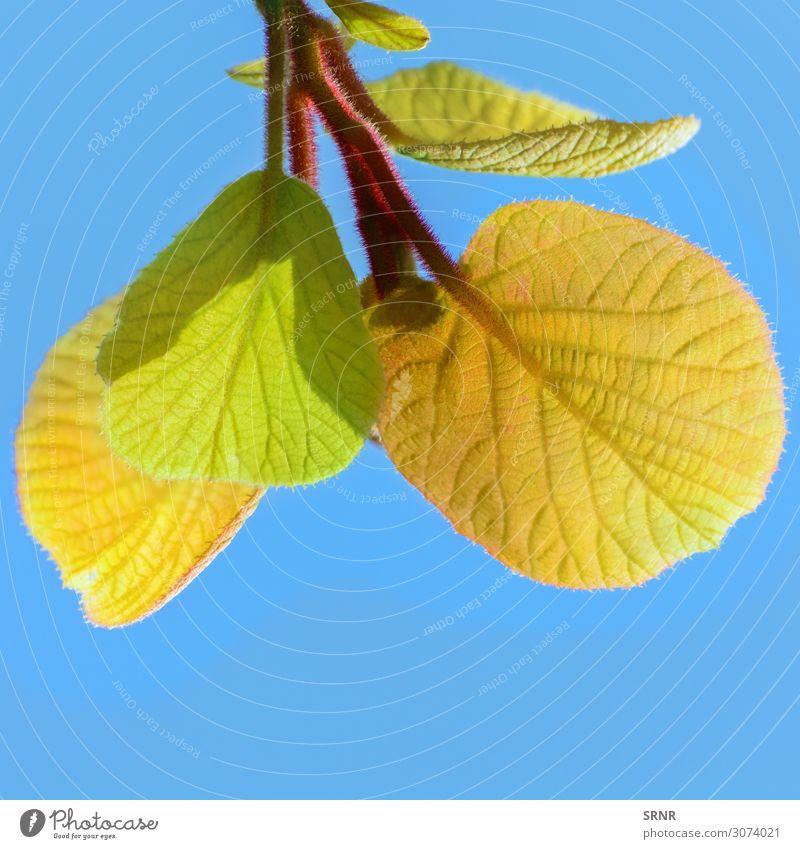 Kiwi-Blätter Umwelt Natur Pflanze Blatt exotisch Zweigstelle Ökosystem Pflanzenwelt Spray Vitalität Farbfoto Tag