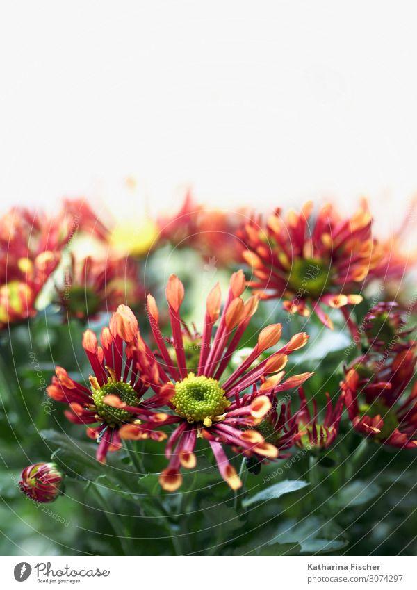 Margeriten Natur Pflanze Frühling Sommer Herbst Winter Blume Blatt Blüte Blühend leuchten schön gelb grün orange rosa rot weiß Dekoration & Verzierung Farbfoto