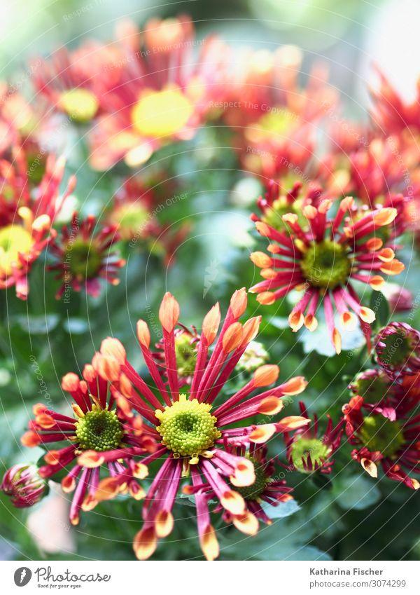 Margeriten Natur Pflanze Frühling Sommer Herbst Winter Blume Blatt Blüte Blühend leuchten schön gelb grün rosa rot türkis weiß Dekoration & Verzierung Farbfoto
