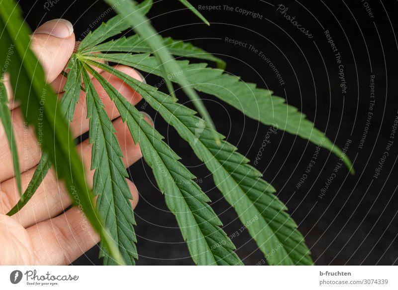 Cannabis-Blatt Alternativmedizin Gesundheitswesen Hand Finger Pflanze Hanf wählen berühren festhalten frei frisch Zusammensein rebellisch Cannabisblatt