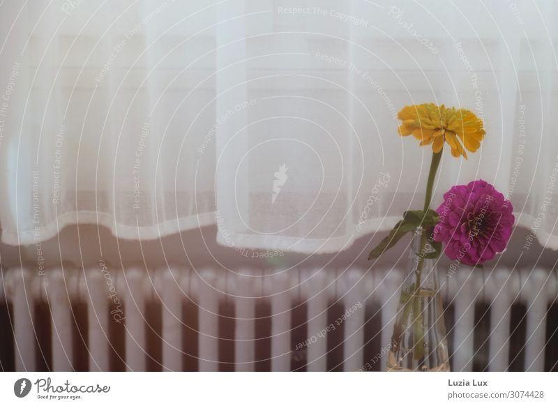 Stilleben, gelb und violett Blume Blüte Dahlien Fenster Heizung Heizkörper alt ästhetisch Fröhlichkeit hell rosa weiß Zufriedenheit Häusliches Leben Vorhang
