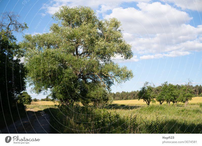Große alte Weide Umwelt Natur Landschaft Pflanze Himmel Wolken Sonne Sonnenlicht Sommer Schönes Wetter Baum Gras Wiese Feld Wald Hügel blau mehrfarbig gelb grün