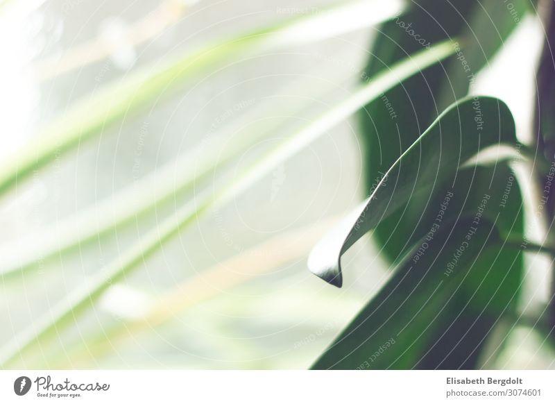 Blatt einer Jasmin Natur Tier Pflanze Grünpflanze Topfpflanze exotisch Blühend Wachstum einfach hell kalt nah natürlich schön grün weiß Zufriedenheit ruhig