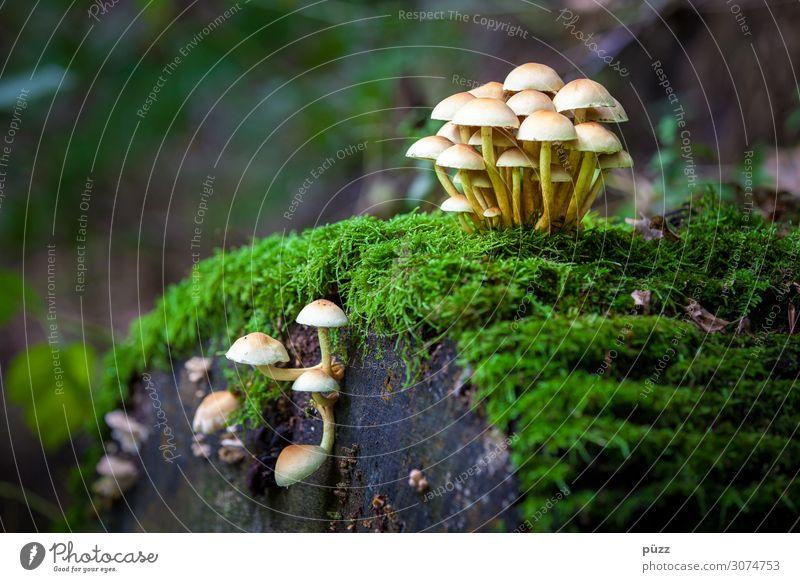 Pilze Umwelt Natur Landschaft Pflanze Herbst Moos Wildpflanze Stockschwämmchen Wald Essen genießen lecker braun gelb grün Baumstumpf Suche Blätterpilz klein Hut