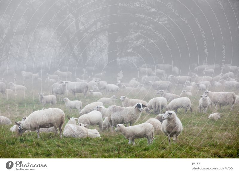 Määäh Umwelt Natur Landschaft Tier Frühling Nebel Wiese Weide Nutztier Schaf Schafherde Tiergruppe Herde kalt grün weiß Wolle Lamm Lammfleisch Schäfer