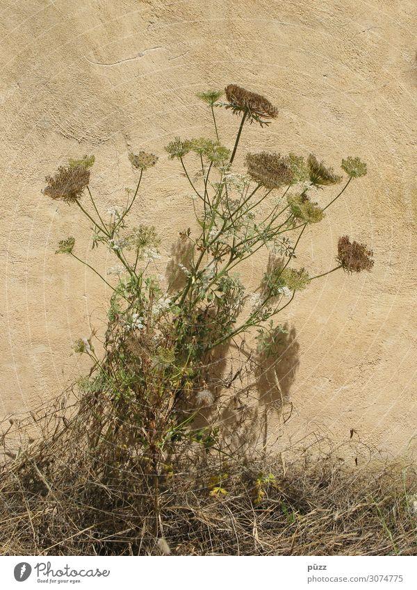 Trockenblumen Umwelt Natur Pflanze Sommer Blume Gras Blüte Wildpflanze Dorf Menschenleer Mauer Wand Fassade trist trocken Wärme braun gelb grün vertrocknet