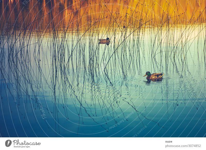Freibadente Natur blau Wasser Tier ruhig Herbst Umwelt See Vogel Schwimmen & Baden Wetter Wildtier Idylle malerisch Im Wasser treiben tierisch