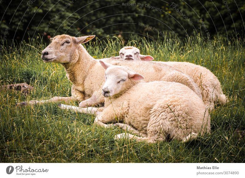 Gruppe von Schafen beim Ausruhen Sommer Umwelt Natur Tier Gras Wiese Nutztier Fell Zoo Streichelzoo 3 Tiergruppe Tierjunges Tierfamilie genießen schlafen dick