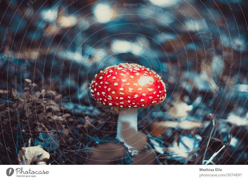 Fliegenpilz Natur Pflanze Wildpflanze Pilz Wald Holz dreckig Ekel exotisch fest kalt natürlich schleimig unten weich Pilze sammeln Giftpflanze Giftpilz Blatt