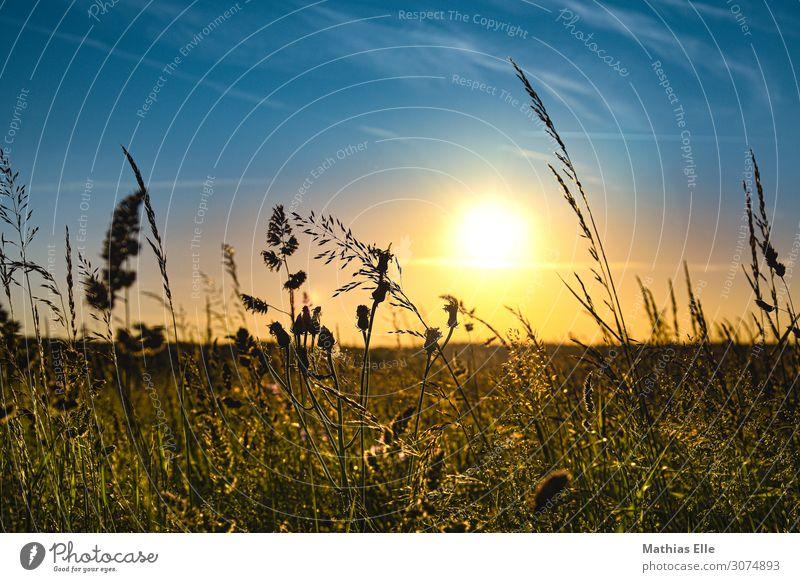 Gräser in der Abendsonne Landschaft Himmel Sonne Sonnenaufgang Sonnenuntergang Sonnenlicht Sommer Klimawandel Schönes Wetter Wärme Gras Sträucher Grünpflanze