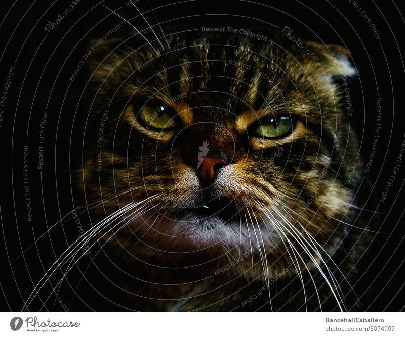 200 | Geht doch... Katze Tier lustig Gefühle Stimmung Kraft niedlich Coolness Macht Hauskatze Wut Haustier selbstbewußt Gesichtsausdruck Tiergesicht Frustration