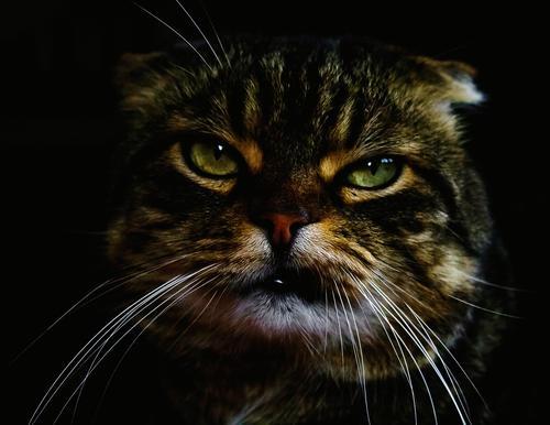 Porträt einer Katze Tierporträt Tiergesicht Haustier Tierliebe Coolness lustig niedlich rebellisch Gefühle Stimmung selbstbewußt Kraft Macht achtsam Verachtung