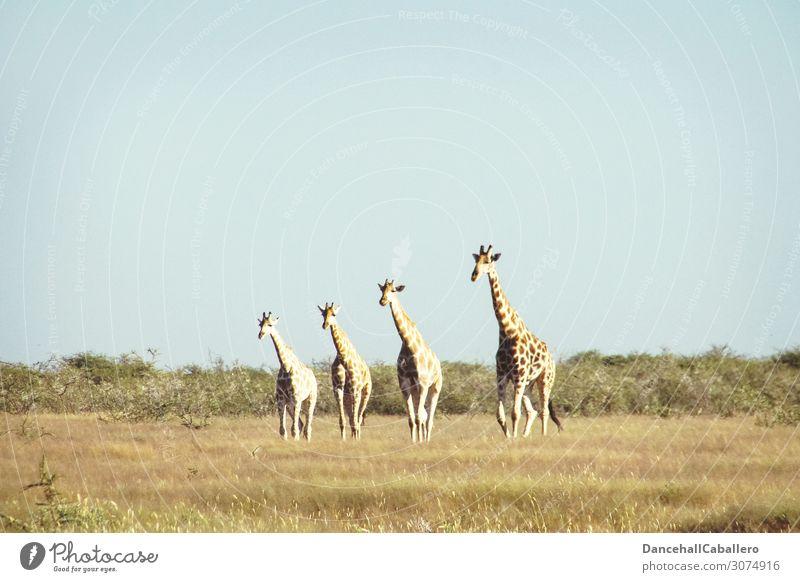 four generations... Ferien & Urlaub & Reisen Tourismus Abenteuer Safari Natur Tier Sommer Schönes Wetter Gras Sträucher Wildtier Giraffe 4 Tiergruppe Herde