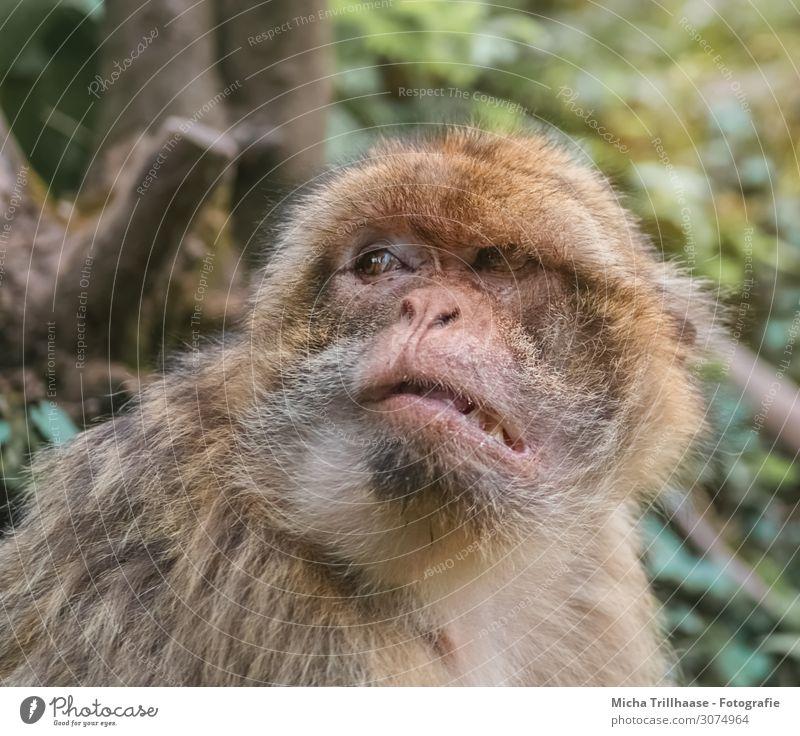 Mürrisch schauender Affe Natur grün Baum Tier Blatt Wald schwarz gelb Auge orange Kopf Wildtier Schönes Wetter beobachten Nase nah