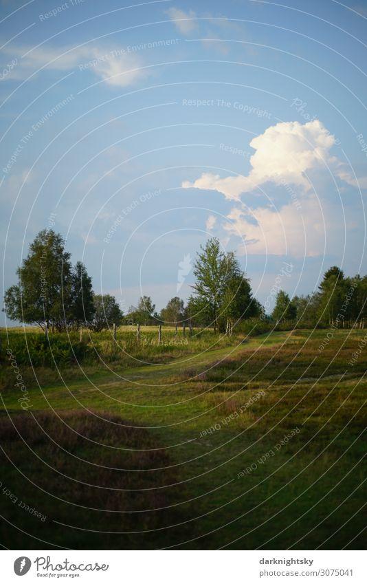 Heide Landschaft Umwelt Natur Tier Himmel Wolken Gewitterwolken Sommer Klimawandel Wetter Schönes Wetter Baum Gras Sträucher Bergheide Park Feld atmen Blühend