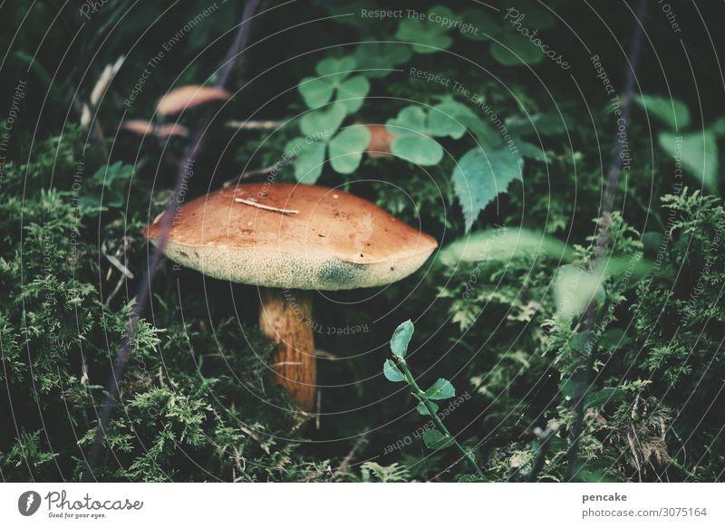 such & find Lebensmittel Natur Herbst Pflanze Moos Wald authentisch Billig retro braun Pilz Schwamm Suche finden Pilzhut Kleeblatt Farbfoto Außenaufnahme