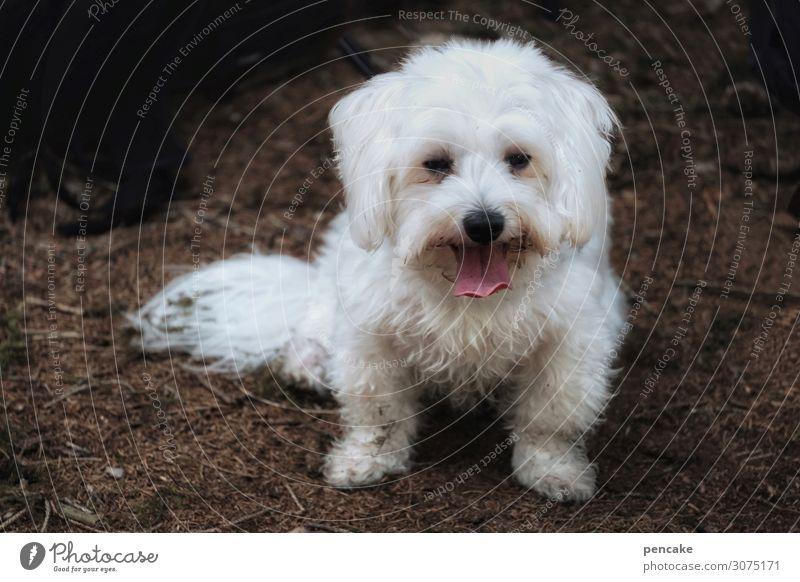 felix Natur Wald Tier Haustier Hund 1 authentisch Freundlichkeit Gesundheit niedlich weiß Waldboden dreckig Zunge atmen ausruhend Fell Malteser Farbfoto