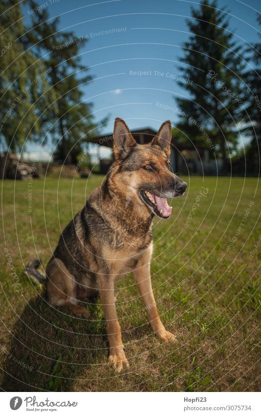 Deutscher Schäferhund Umwelt Natur Landschaft Pflanze Tier Sonnenlicht Sommer Schönes Wetter Baum Gras Garten Park Haustier Hund 1 beobachten Blick feminin blau