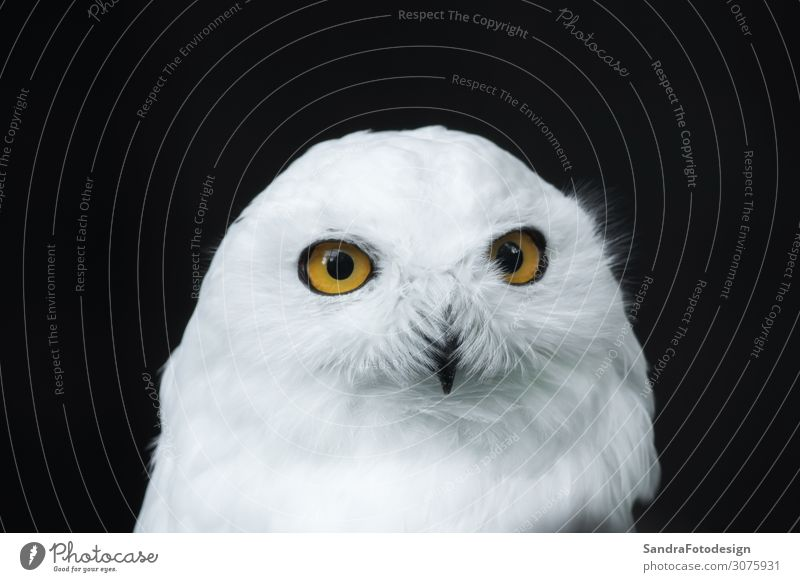 The head of a snow owl Zoo Natur Park Tier 1 beobachten weiß plumage portrait north looking prey wildlife white snowy watching feather majestic bird endangered