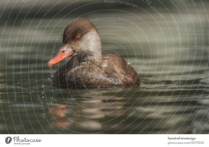 A duck swims in the water Erholung Freizeit & Hobby Ausflug Sommer Natur Wasser Park Tier Zoo 1 Schwimmen & Baden springen tauchen nass braun Frieden reflection