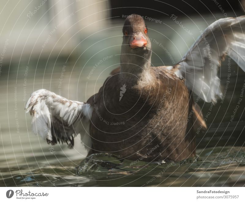 A duck swims in the water Erholung ruhig Freizeit & Hobby Sommer Zoo Natur Wasser Park Teich See Tier Nutztier 1 Schwimmen & Baden beobachten springen tauchen