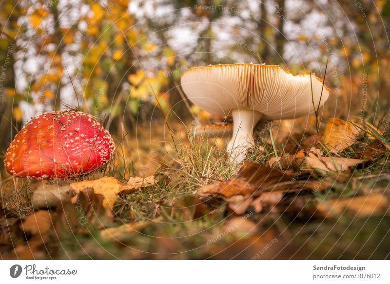 Mushrooms in the forest with foliage Freizeit & Hobby Ferien & Urlaub & Reisen Sommer Garten Umwelt Natur Wiese Wald beobachten wandern weich gelb gold rot