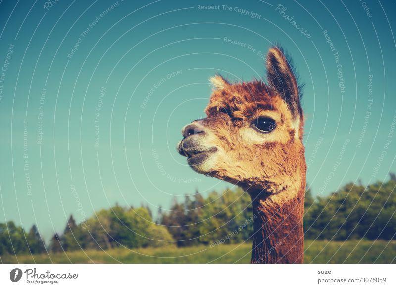 Knutschkopp Himmel blau schön Tier lustig braun Kopf niedlich Neugier Fell tierisch Wachsamkeit kuschlig Nutztier Lama Alpaka