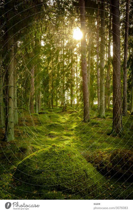 Bei den Hobbits Wald Schweden Urlaub Wandern Freiheit Umwelt Natur grün Nadelwald Kiefern Weg Ziel Klima Gesundheit Mensch Märchen Märchenwald geheimnisvoll
