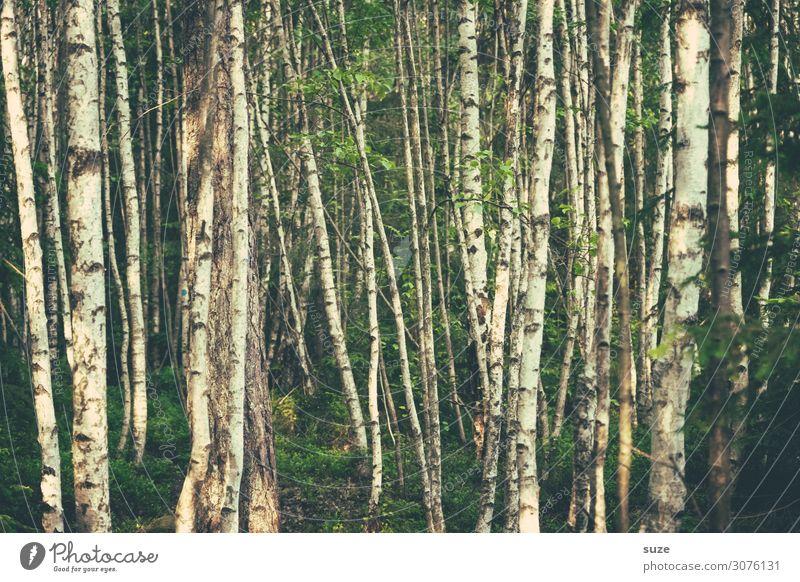 Birkendickicht Ferien & Urlaub & Reisen Natur Sommer Pflanze grün Landschaft ruhig Wald Gesundheit Hintergrundbild Umwelt wandern Klima geheimnisvoll Wohlgefühl