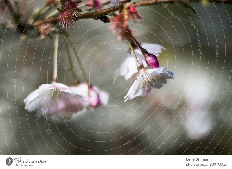 Kirschblüten #1 Natur Pflanze Schönes Wetter Baum Blüte Kirschbaum Park Feld Blühend Wachstum frisch schön rosa Lebensfreude Frühlingsgefühle Euphorie Kraft