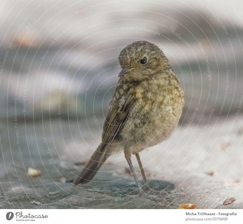 Junges Rotkehlchen Natur Tier Sonne Sonnenlicht Schönes Wetter Wildtier Vogel Tiergesicht Flügel Krallen Kopf Schnabel Auge Feder gefiedert 1 Tierjunges Blick