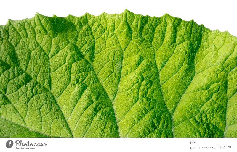 green leaf detail Wohnung Natur Pflanze Blatt frisch saftig grün ausschnitt formatfüllend halb durchsichtig bio natürlich Botanik flach Oberfläche Photosynthese