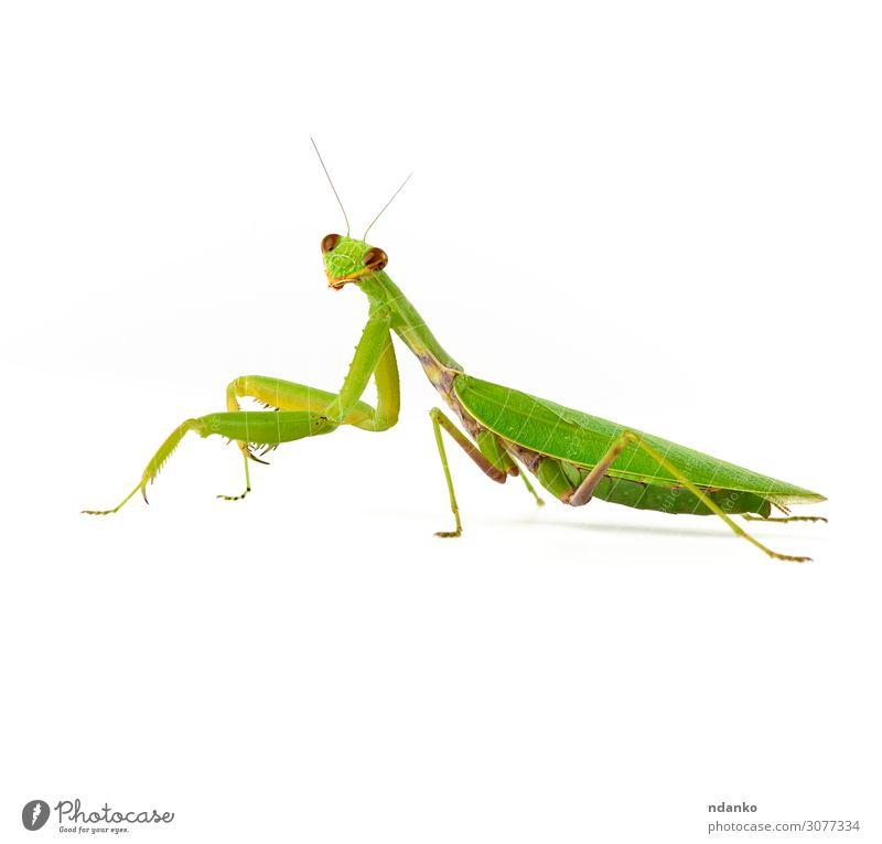 große grüne Mantis auf weißem Hintergrund schaut auf die Kamera. Natur Tier 1 stehen natürlich wild Wanze Auge Fauna Kopf Insekt Wirbellose Bein Gottesanbeterin