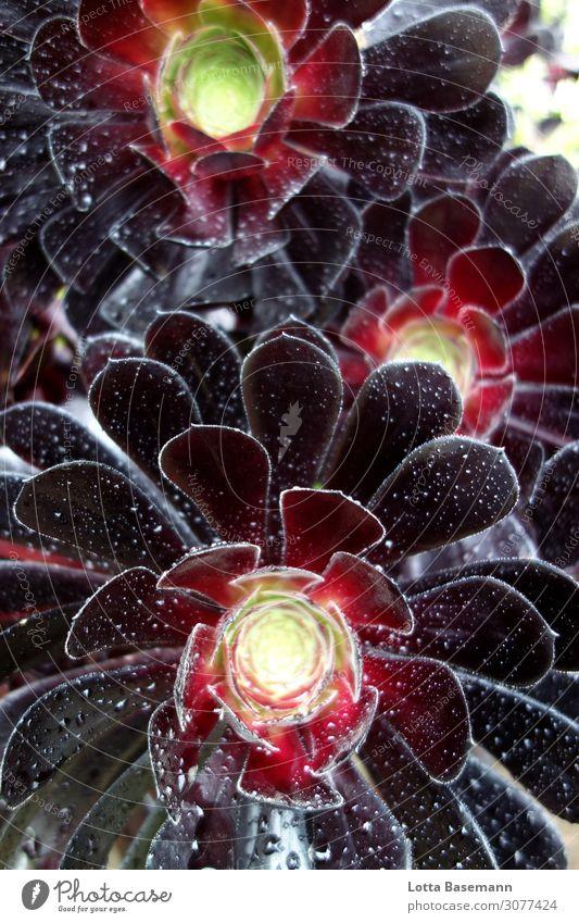 schwarze Kaktusblume Umwelt Natur Pflanze Klima Blume Blüte Wildpflanze exotisch Kakteenblüte Garten Wachstum ästhetisch außergewöhnlich bedrohlich Erotik nass