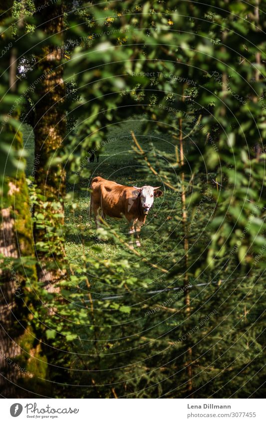 Braune Kuh im Wald Allgäuer Alpen Kur Berge u. Gebirge wandern Natur Landschaft Tier Pflanze Baum Sträucher Grünpflanze Nutztier 1 wild grün Gelassenheit ruhig