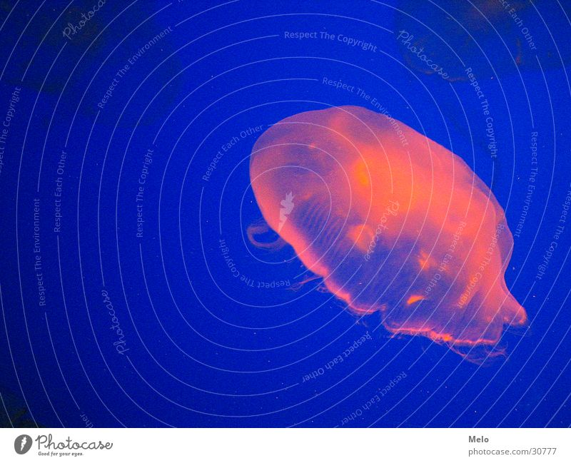 jellyfish rosa Erfolg Aquarium Qualle Singapore