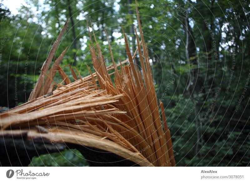 Gebrochener und gesplitterter Baumstamm in lichtem Waldstück Natur Landschaft Sommer Schönes Wetter Pflanze Sträucher Splitter gebrochen grün Sturmschaden Bruch