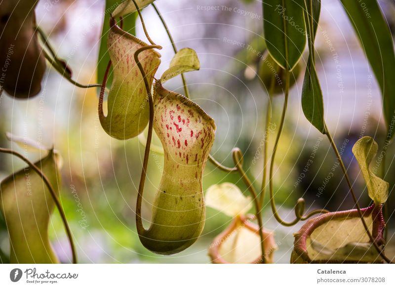 Fliegenfalle Pflanze Blatt Blüte Wildpflanze exotisch Kannenpflanzen Blütengefäß Fliegen fressende Pflanze Urwald Fressen Wachstum authentisch braun grün orange