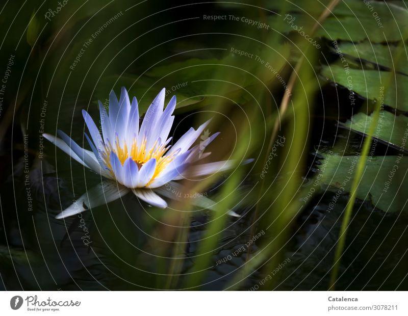 Eine blaue Seerose Natur Pflanze Wasser Sommer Blume Gras Blatt Blüte exotisch Seerosen Wasserpflanze Binsen Seerosenblüte Garten Seeufer Teich Blühend drehen