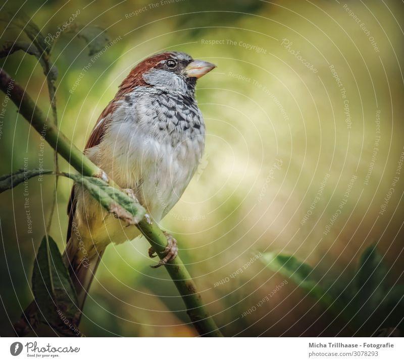 Spatz im Sonnenschein Natur Tier Sonnenlicht Schönes Wetter Sträucher Blatt Zweige u. Äste Wildtier Vogel Tiergesicht Flügel Krallen Haussperling Kopf Schnabel