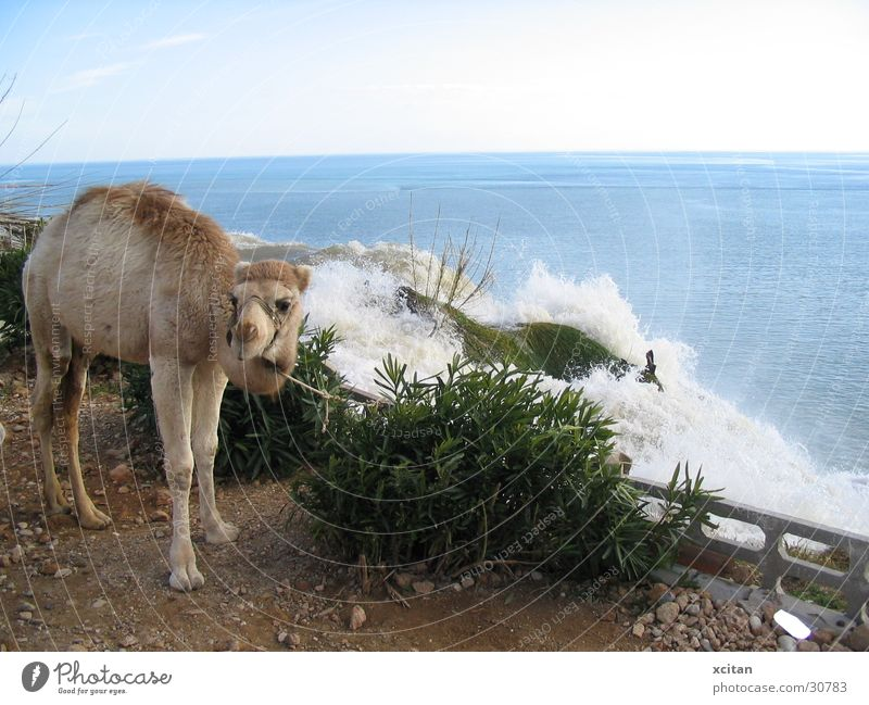 every camels dream Meer Wasserfall Kamel