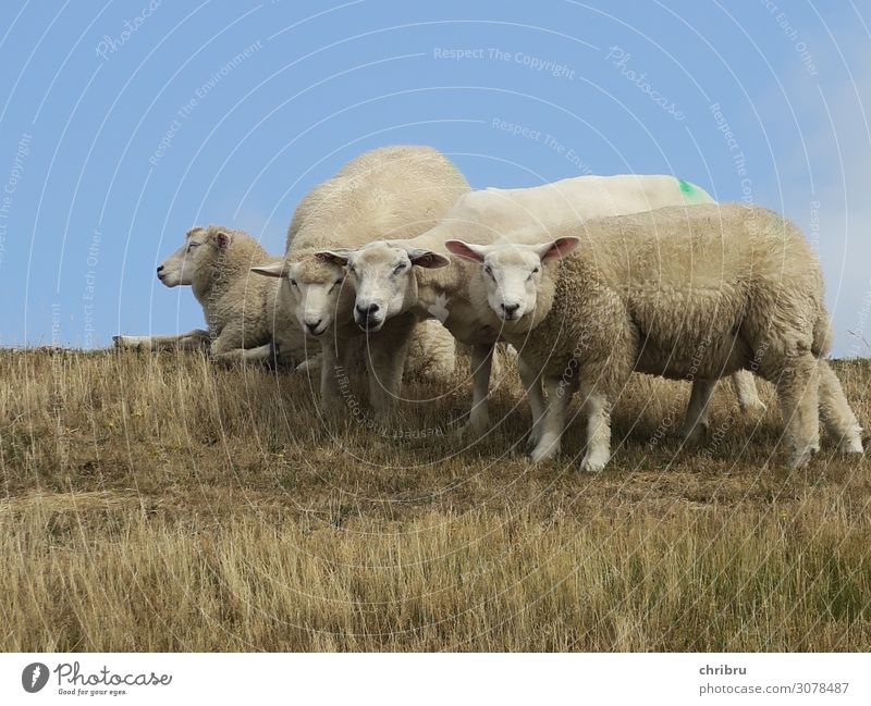 Herdentrieb Natur blau Tier natürlich Gras Zusammensein braun Denken Freundschaft oben Kommunizieren liegen Kraft stehen Tiergruppe Schönes Wetter