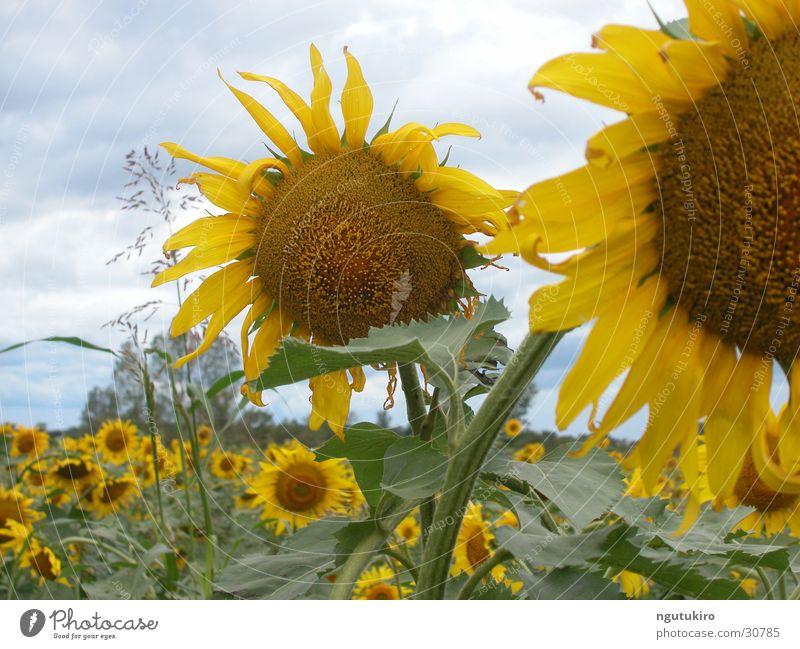 Sonnenblume Blume Sommer Feld Landwirtschaft Sonnenblume